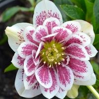 Buy Plants Online- Hellebores